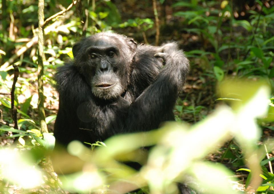 Chimp in Budongo forest