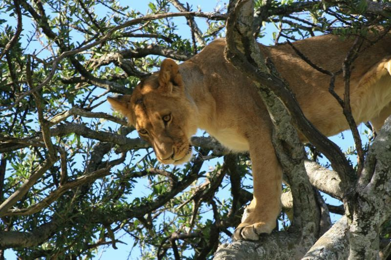Tree climbing Lion Ishasha